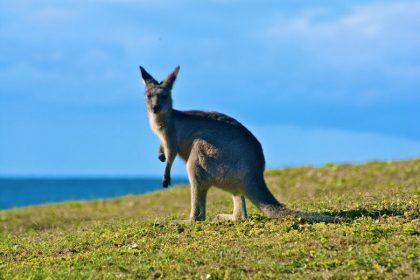 kangaroos in the wild